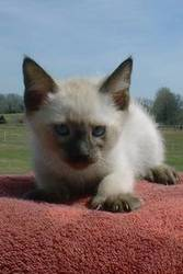 Very Cute Siamese Kittens For Sale